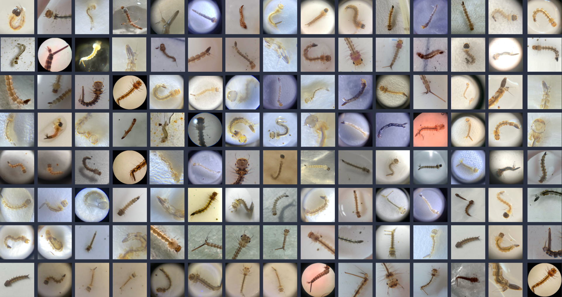 A sample of the nearly 500 mosquito larvae photos submitted through GLOBE Observer during the Mosquito Habitat Photo Challenge. The image is a screenshot from the challenge wrap up video available at https://youtu.be/EHpxFoxgHEY